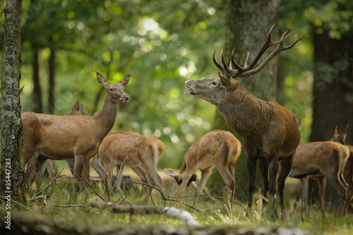 Photo sur Aluminium Roe cerf