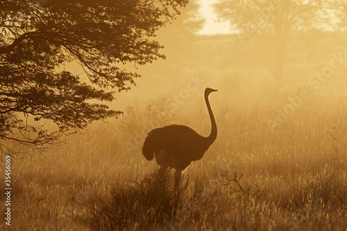 Fotobehang Struisvogel Ostrich in dust, Kalahari desert, South Africa