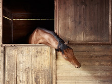 Riding School: Horse Looking Out Of Stable