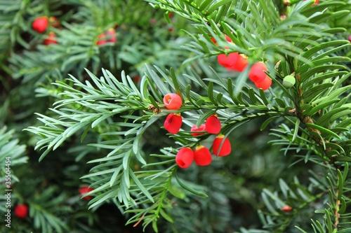 Obraz na plátně Yew tree berries