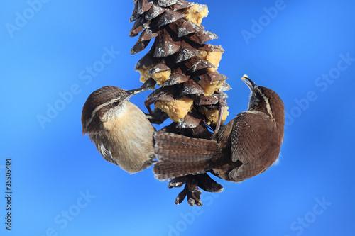 Valokuva  Carolina Wrens On A Pine Cone
