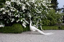 White Peacock, Albino