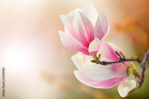 In de dag Magnolia magnolia