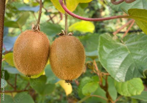 Photo kiwi plant