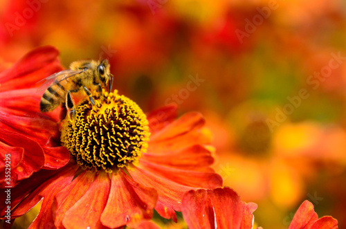 Poster Bee Honey bee on helenium flowers