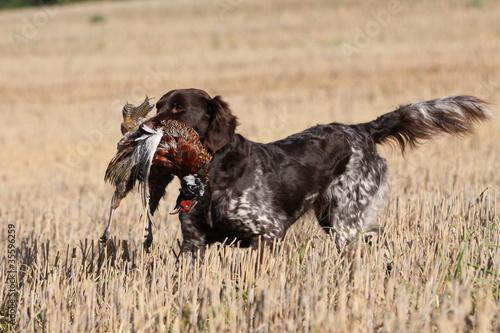 Jagdhund mit Beute im Stoppelfeld