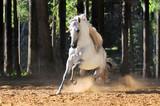 Fototapeta Horses - White horse runs gallop in sand