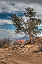 Lone Pine Tree In Red Rock Canyon