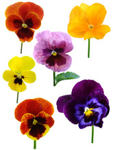 Pansies Wood Violets Flowers It Is Isolated