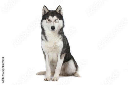 Canvas Print siberian husky assis de face sur fond blanc