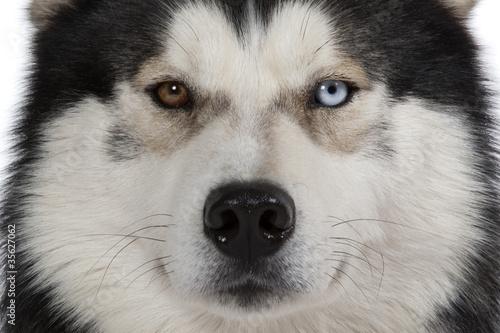 Papiers peints Loup yeux vairons du siberian husky