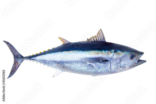 Printed kitchen splashbacks Fishing Bluefin tuna Thunnus thynnus saltwater fish