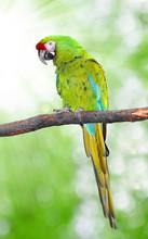 Ara Militaris Military Macaw