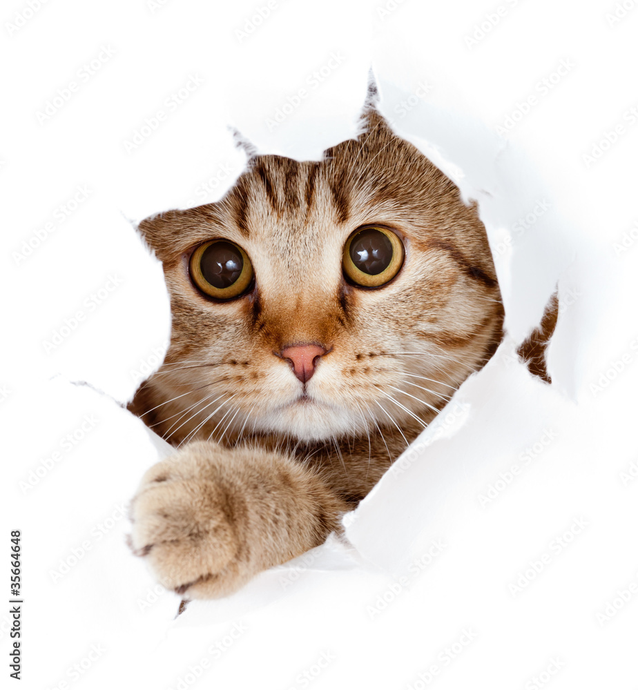 Fototapety, obrazy: cat looking up in paper side torn hole isolated
