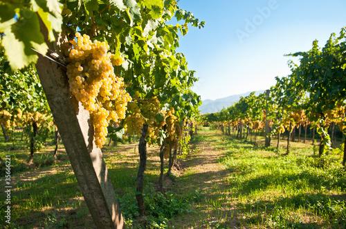 Garden Poster Vineyard Green grapes ready for harvest in a italian vineyard