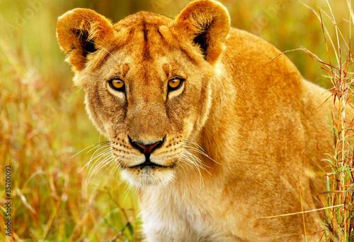 Fotografie, Obraz  Beautiful wild african lioness