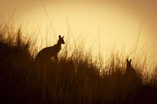Kangaroo Silhouettes