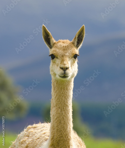 Staande foto Lama llama standing in field looking forward
