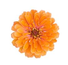 Orange Zinnia Flower