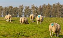 Some Grazing Female Sheep Were...