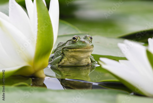 Photo sur Toile Grenouille Frog among white lilies