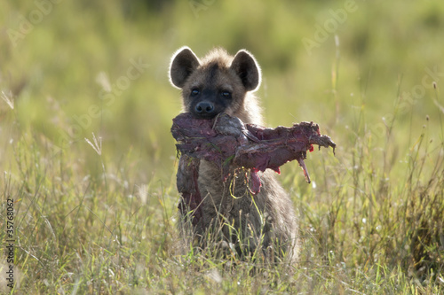 Poster Hyène Hyena in Serengeti National Park, Tanzania, Africa