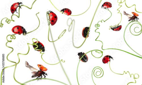 Fotomural Seven-spot ladybird or seven-spot ladybug on Larger Bindweed