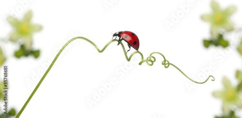 Photo  Seven-spot ladybird or seven-spot ladybug on Larger Bindweed