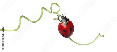 Cuadros en Lienzo Seven-spot ladybird or seven-spot ladybug on Larger Bindweed