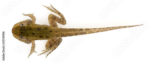 Fotografia, Obraz  Edible Frog, Rana esculenta, around 12 weeks old after hatching