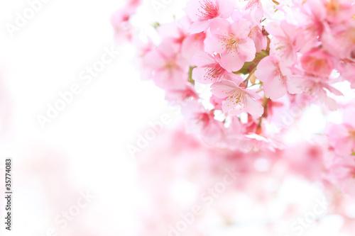 Tuinposter Kersenbloesem ピンクが綺麗なヒガンザクラ
