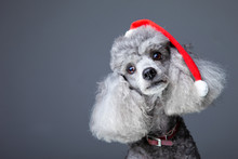 Small Gray Poodle With Red Christmas Cap