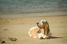 Overweight Hound Meditating On A Beach