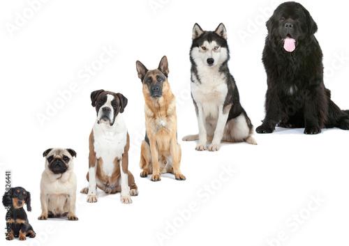 six races de chiens : du plus petit au plus grand Fototapete