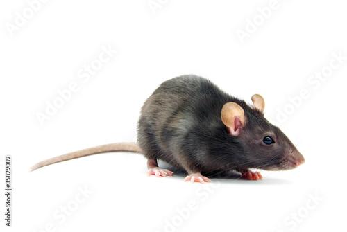 rat Fotobehang