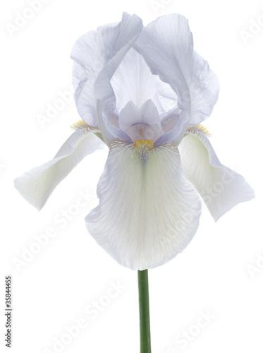 In de dag Iris iris