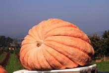 Giant Pumpkin, Winner Of The Swiss Pumpkin Contest
