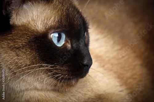 Fotografía  siamese cat closeup
