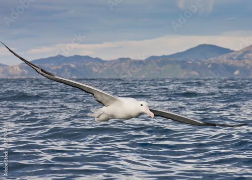 Fotografia, Obraz  Gibson's Wandering Albatross Flying