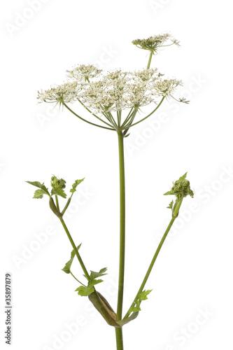 Canvastavla  Wild Angelica flower