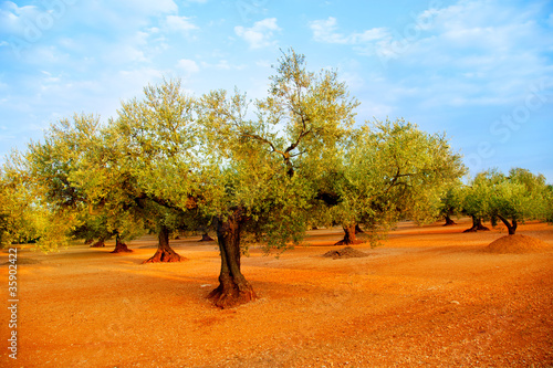 Fotomural olive tree fields in red soil in Spain