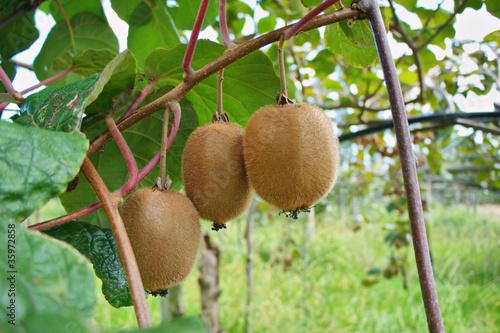 Fotografia, Obraz  kiwi fruit