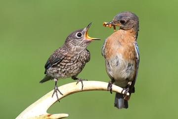 Female Eastern Bluebird Feeding A Baby