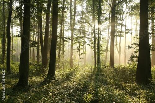 Papiers peints Foret brouillard Rising sun enters misty deciduous forest
