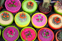 Flowered Cactus In Colorful And Fancy Pots