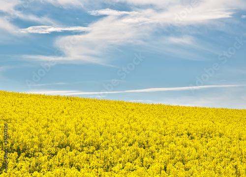 Field of rape flowers in summer Poster