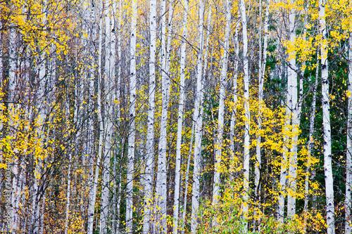 Foto op Aluminium Berkbosje Birch trees