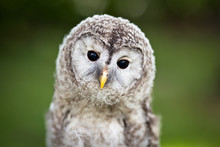 Close Up Of A Baby Tawny Owl (...