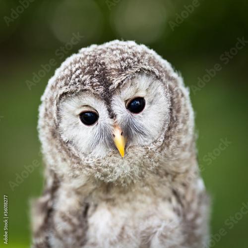 zamknij-sie-z-dzieckiem-tawny-owl-strix-aluco
