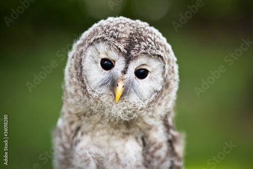Spoed Foto op Canvas Uil Close up of a baby Tawny Owl (Strix aluco)